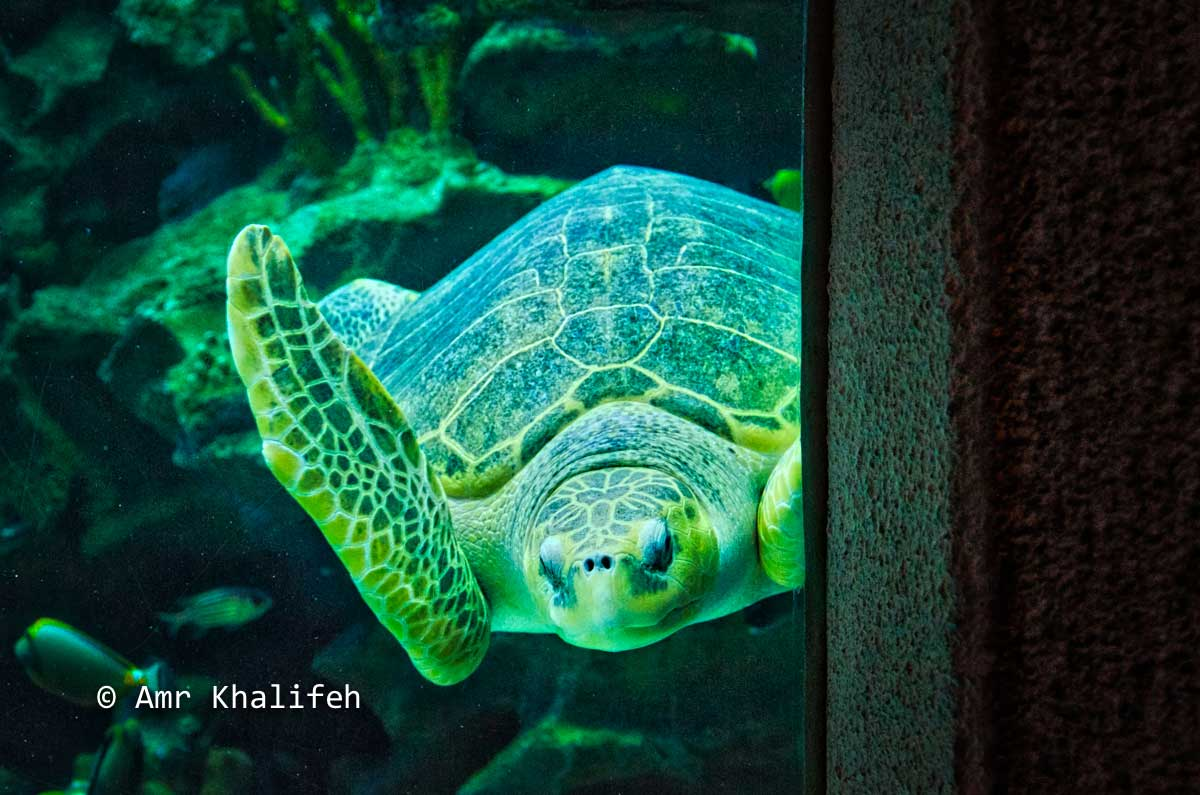 Amr Khalifeh's Post Photo - Sea Turtle